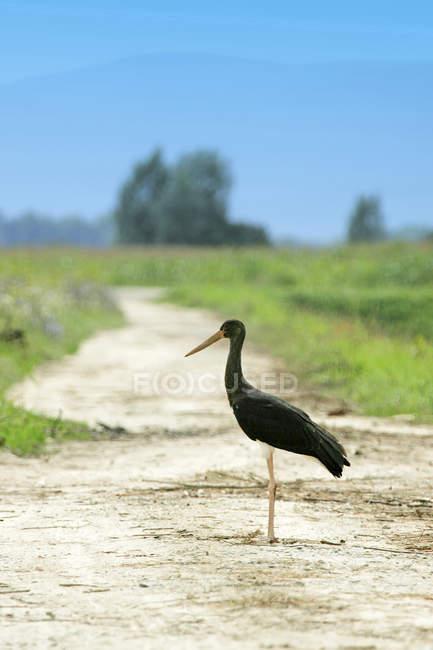 Cigogne noire se tenant debout sur une route rurale — Photo de stock