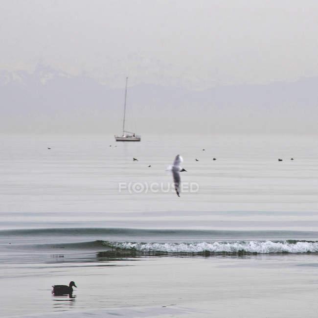 Vue panoramique avec voilier sur le lac de Constance, montagnes dans le brouillard sur le fond, flying seagull et canard — Photo de stock