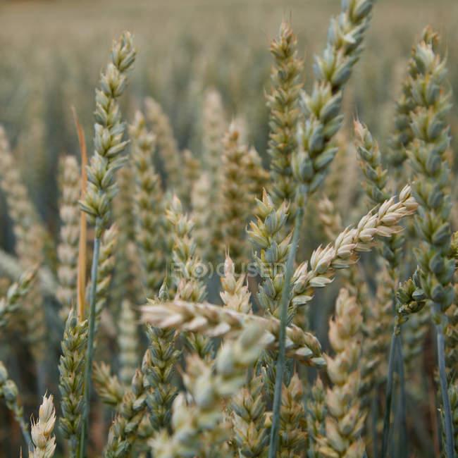 Corn ears in field — Stock Photo