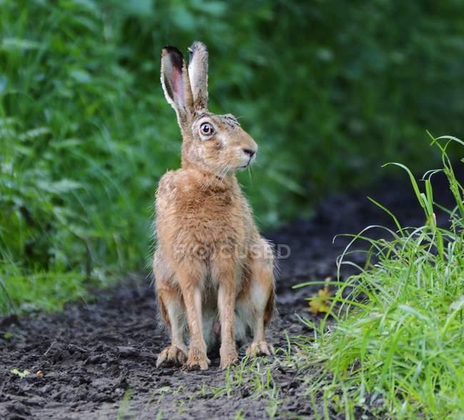 Крупным планом вид заяц на лугу пути — стоковое фото