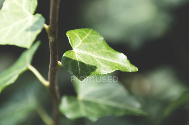 Плющ листьев — стоковое фото