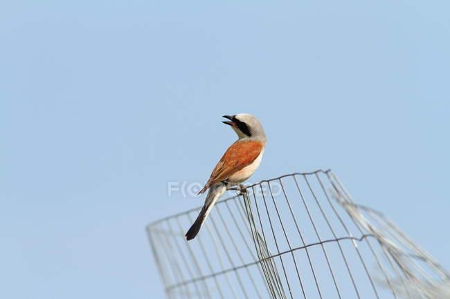 Oiseau de Pie-grièche Écorcheur sur clôture, vue de dessous — Photo de stock