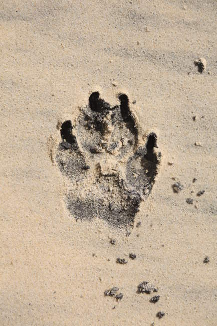 Closeup top view of animal paw print on wet sand — Stock Photo