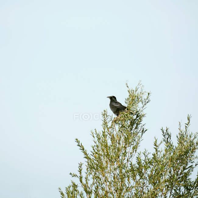 Black crow sitting on branch — Stock Photo