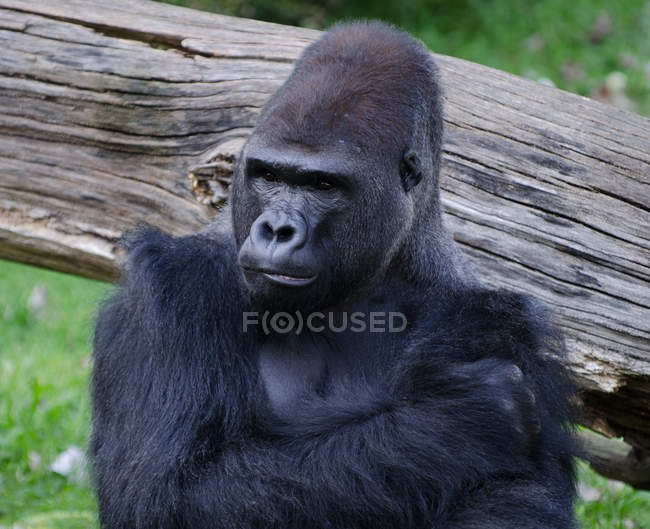 Adult gorilla standing and pressing hand to chest in front of wood — Stock Photo