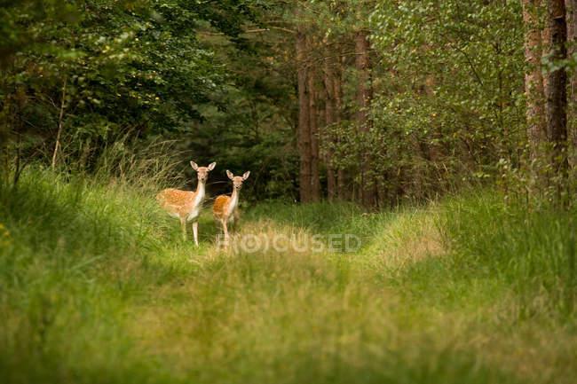 Живописный вид лань в лесу — стоковое фото
