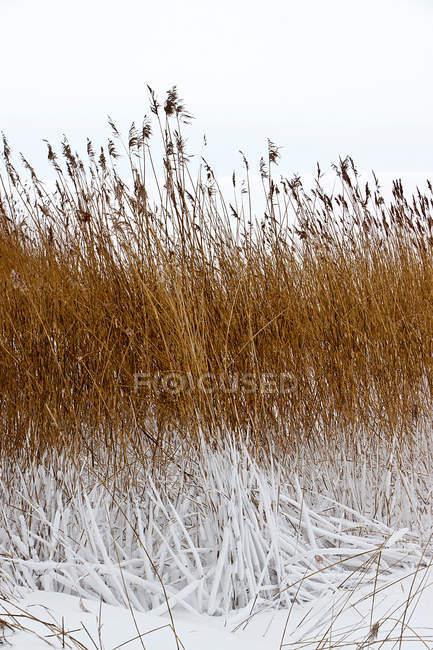 Getrocknete Wiese mit Schnee bedeckt — Stockfoto