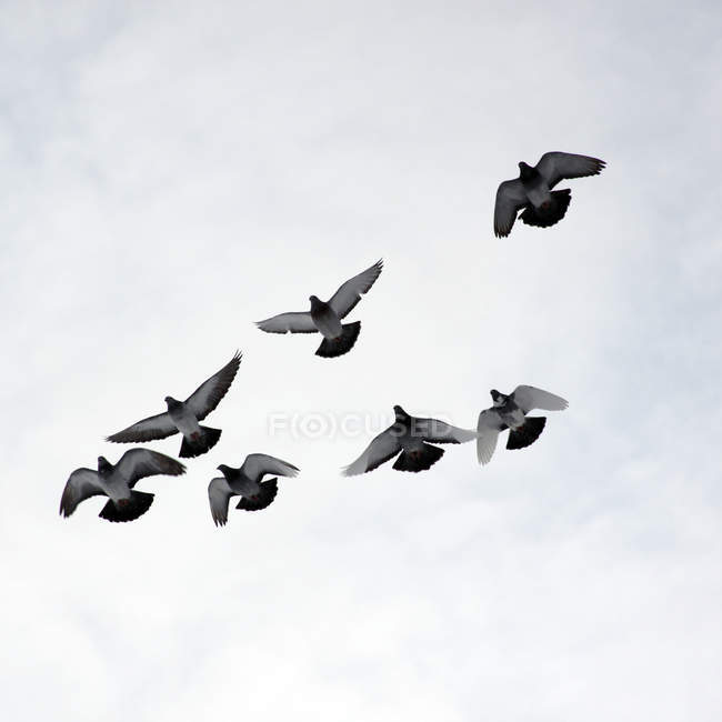 Flock of pigeons in the sky — Stock Photo