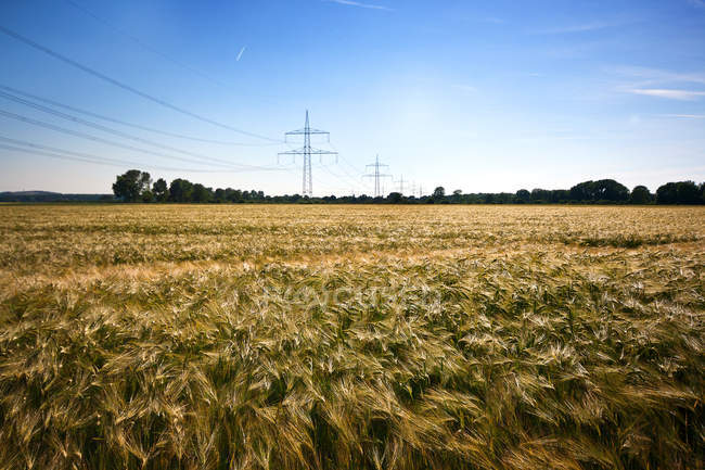 Wheat field with powerlines view — Stock Photo