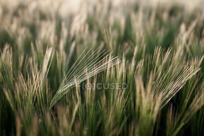 Grünen Gerstenfeld im Sommer — Stockfoto