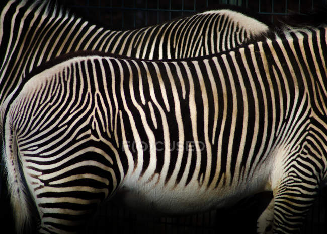 Cortada a visualização do padrão natural de peles de zebras — Fotografia de Stock