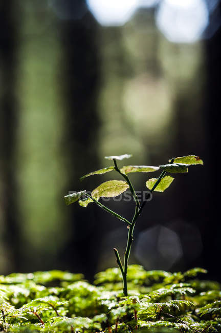 Closeup view of wild plant stem with green leaves — Stock Photo