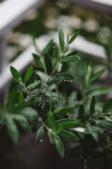 Pflanze Blätter mit Wassertropfen — Stockfoto