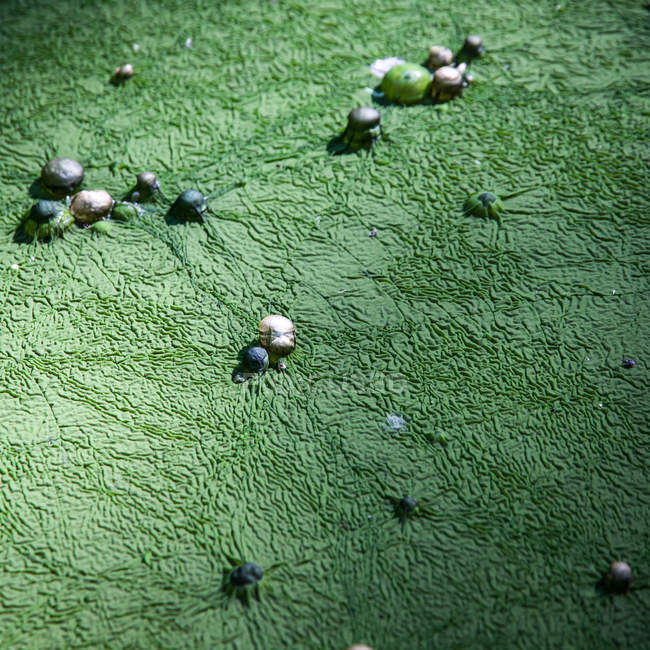 Green algae covering with round stones — Stock Photo