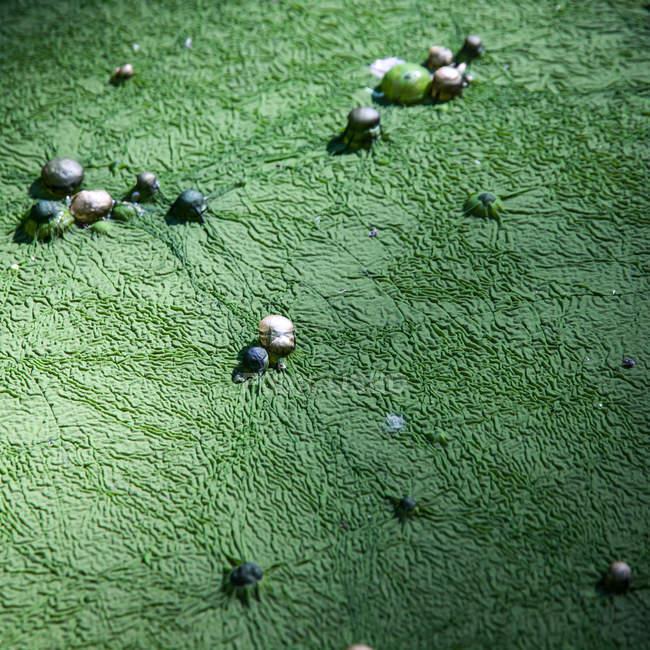 Algues vertes recouvrant de pierres rondes — Photo de stock