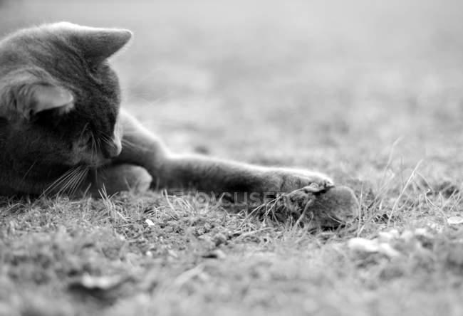 Katze mit der Maus zu spielen — Stockfoto