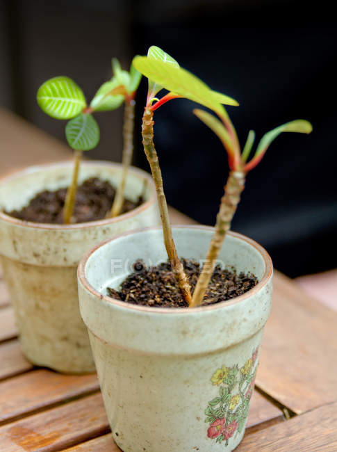 Growing tiny fresh houseplants in pots — Stock Photo