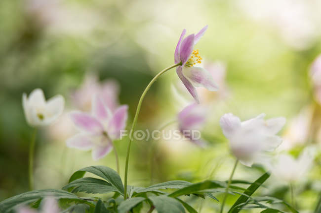 Flores de anémonas silvestres - foto de stock
