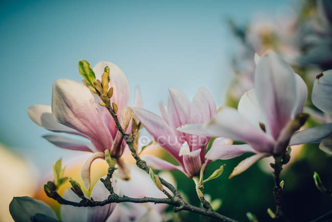 Closeup view of flowering magnolia plant — Stock Photo