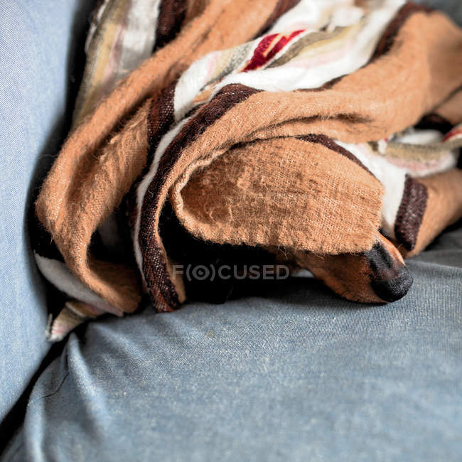 View of dachshund nose seen from under blanket — Stock Photo