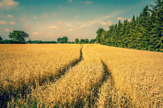 Ripe wheat field at the autumn — Stock Photo