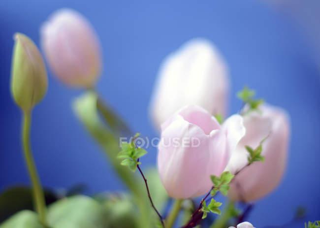 Свіжі тюльпани квіти — стокове фото