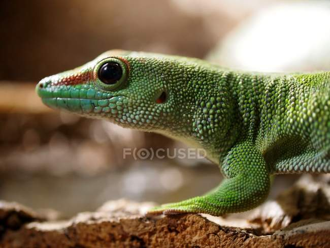 Close-up view of lizard in terrarium — Stock Photo