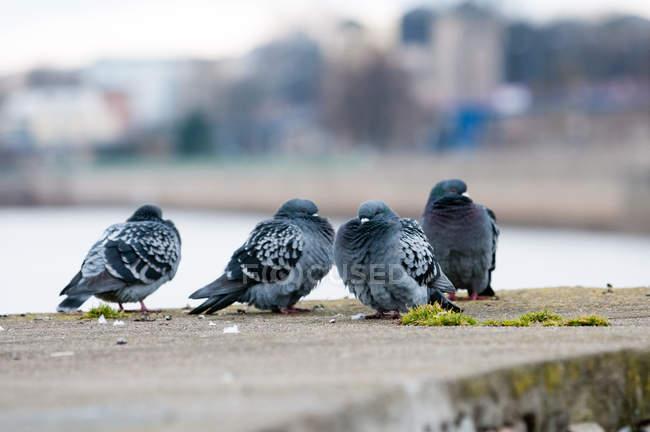 Pigeons sitting on concrete parapet — shallow depth of field