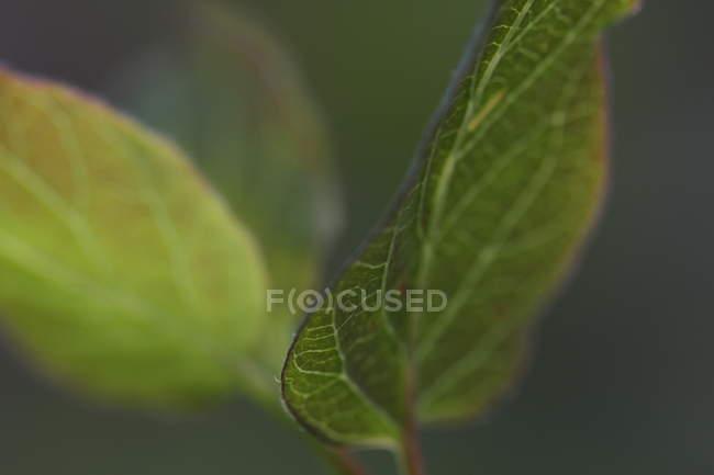 Closeup of fresh green leaves, selective focus — Stock Photo