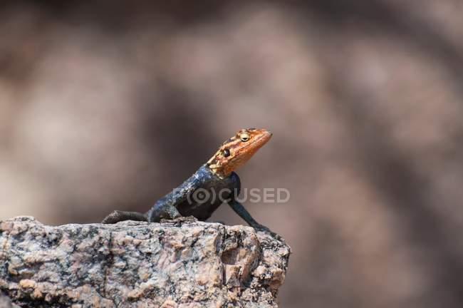 Барвисті ящірка істота — стокове фото