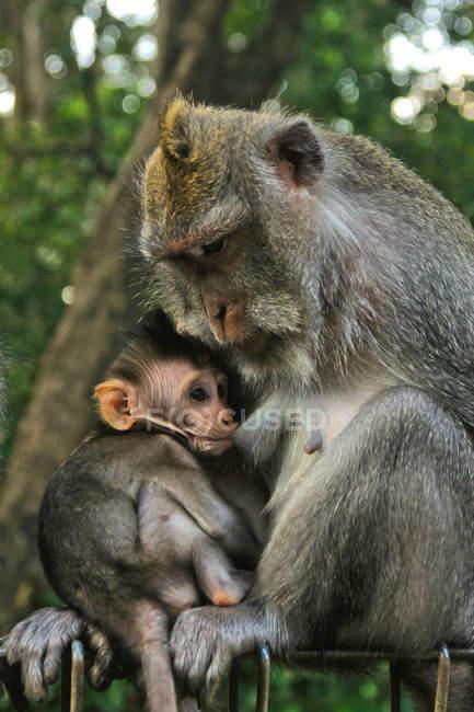 Gibraltar com o bebé sentado na árvore — Fotografia de Stock