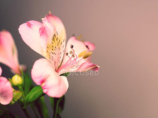 Pink spotted lily flowers — Stock Photo