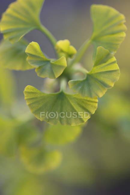 Geranien Pflanzen mit grünen Blättern — Stockfoto