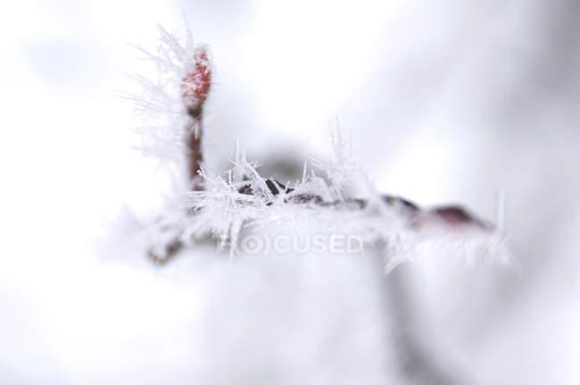 Ramo con boccioli coperti di gelo — Foto stock
