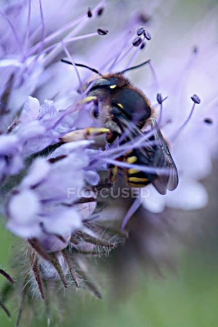 Abeille cueillette de nectar dans le calice de la fleur — Photo de stock