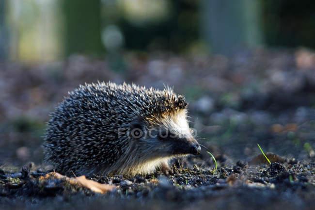 Ouriço no habitat natural — Fotografia de Stock