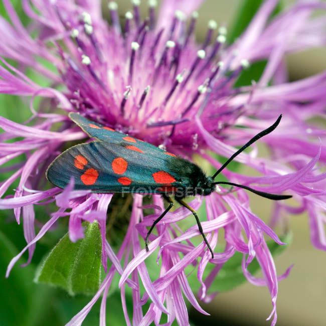 Пятнистый бабочка бабочка на цветке — стоковое фото