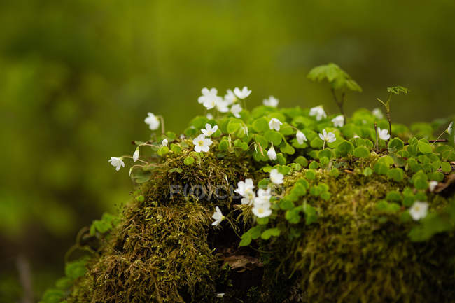 View of moss sprouts and flower blooms — Stock Photo