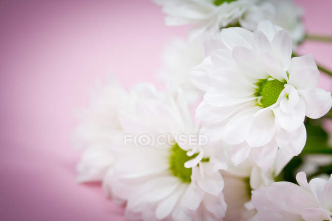 Bunch of bellis flowers — Stock Photo