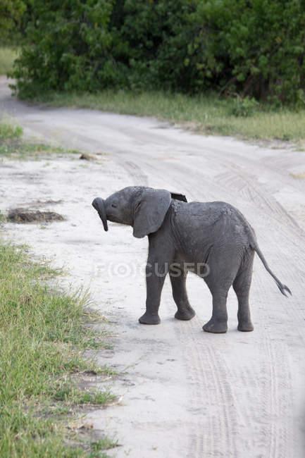 Милый маленький слон детеныш, прогулки по сельской дороге на сафари — стоковое фото