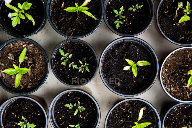Top view of small potted plants in black flowerpots — Stock Photo