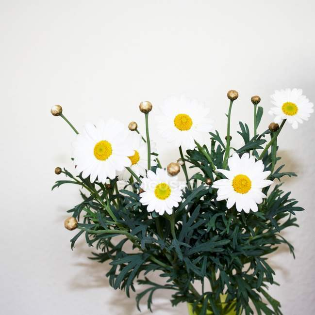 Closeup view of daisy flowers bouquet — Stock Photo
