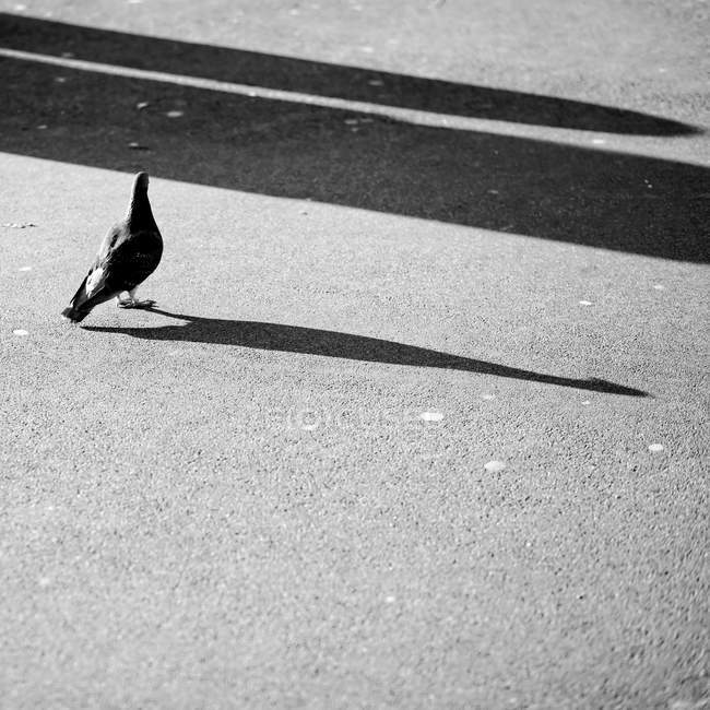 Pigeon walking with its shadow — Stock Photo