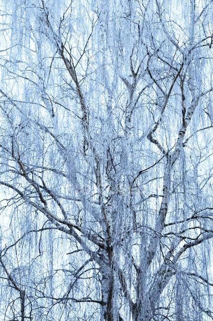 Ветви дерева, покрытые Фрост — стоковое фото