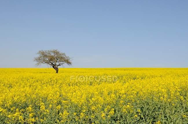Цветки желтые изнасилования поле зрения — стоковое фото