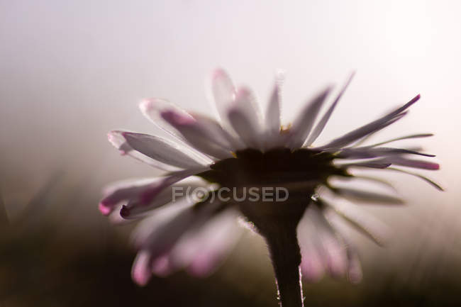 Blooming daisy flower — Stock Photo