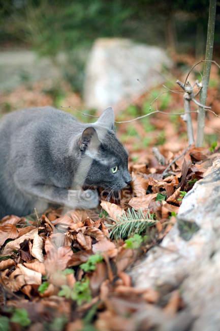 Gatto nella posa di stalking — Foto stock