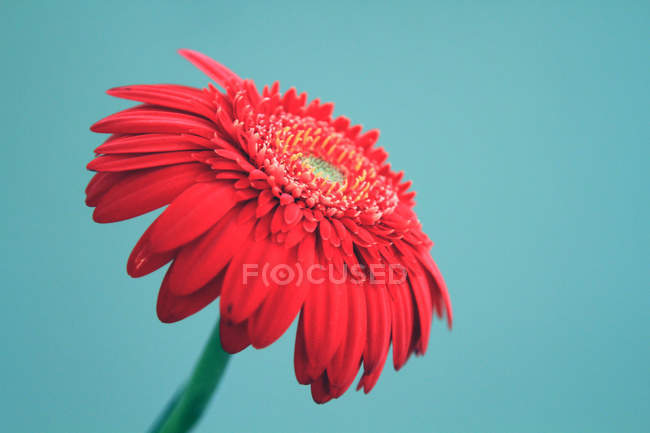 Closeup view of red flowering gerbera on blue — Stock Photo