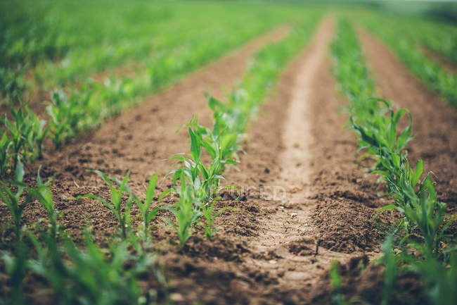 Crops on green field — Stock Photo