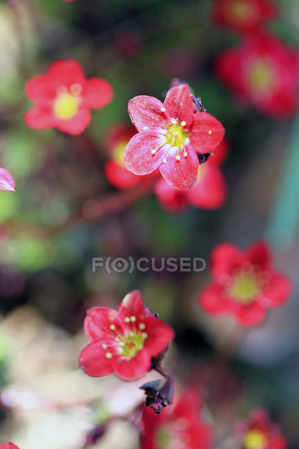 Closeup view of red flowers on twig, selective focus — Stock Photo